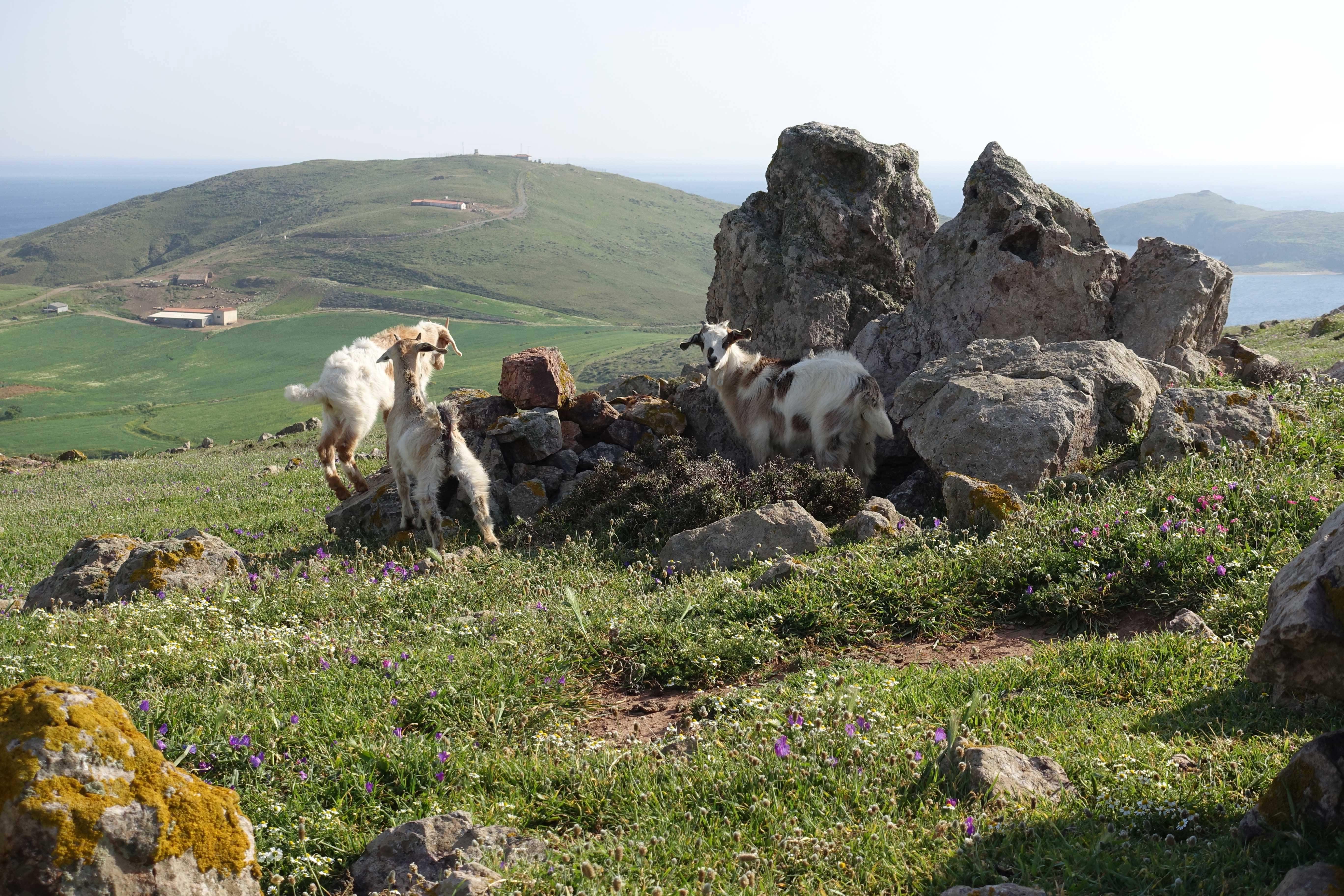 Lemnos' goats   Mandra System of Lemnos, Greece