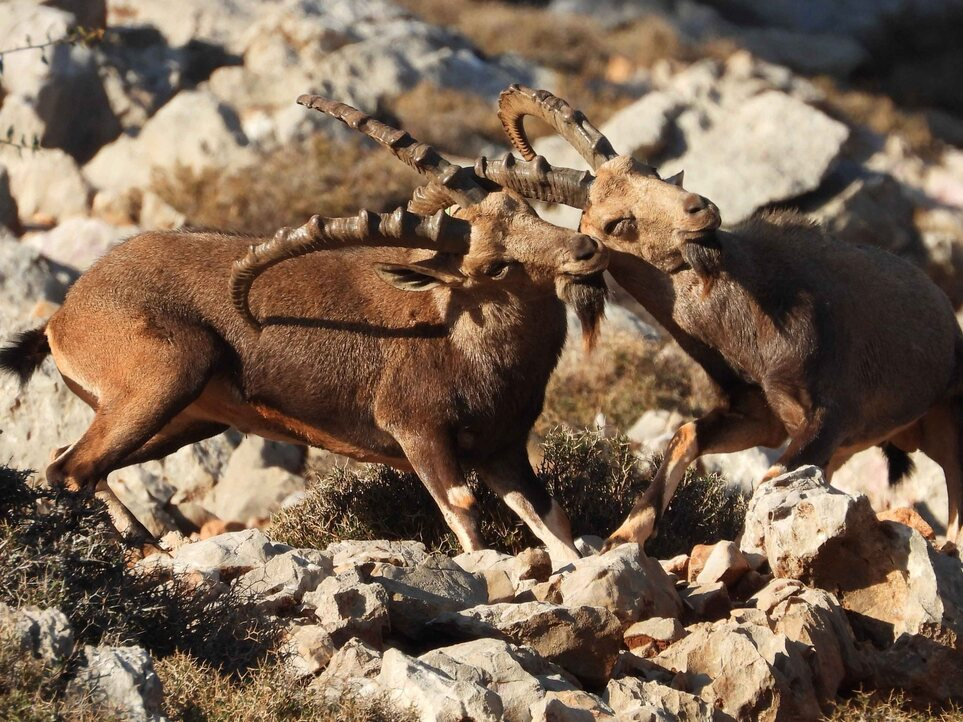 Reintroduced Nubian Ibex species in the West Bekaa caught on camera, while restoration work of degraded pastures is underway