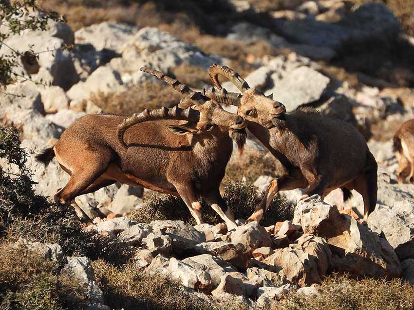 Fighting ibexes, by Shouf Biosphere Reserve Cultural Landscape project.