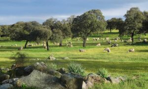 Dehesas and Montados in the Iberian Peninsula | Alliance for Mediterranean Nature & Culture (AMNC)