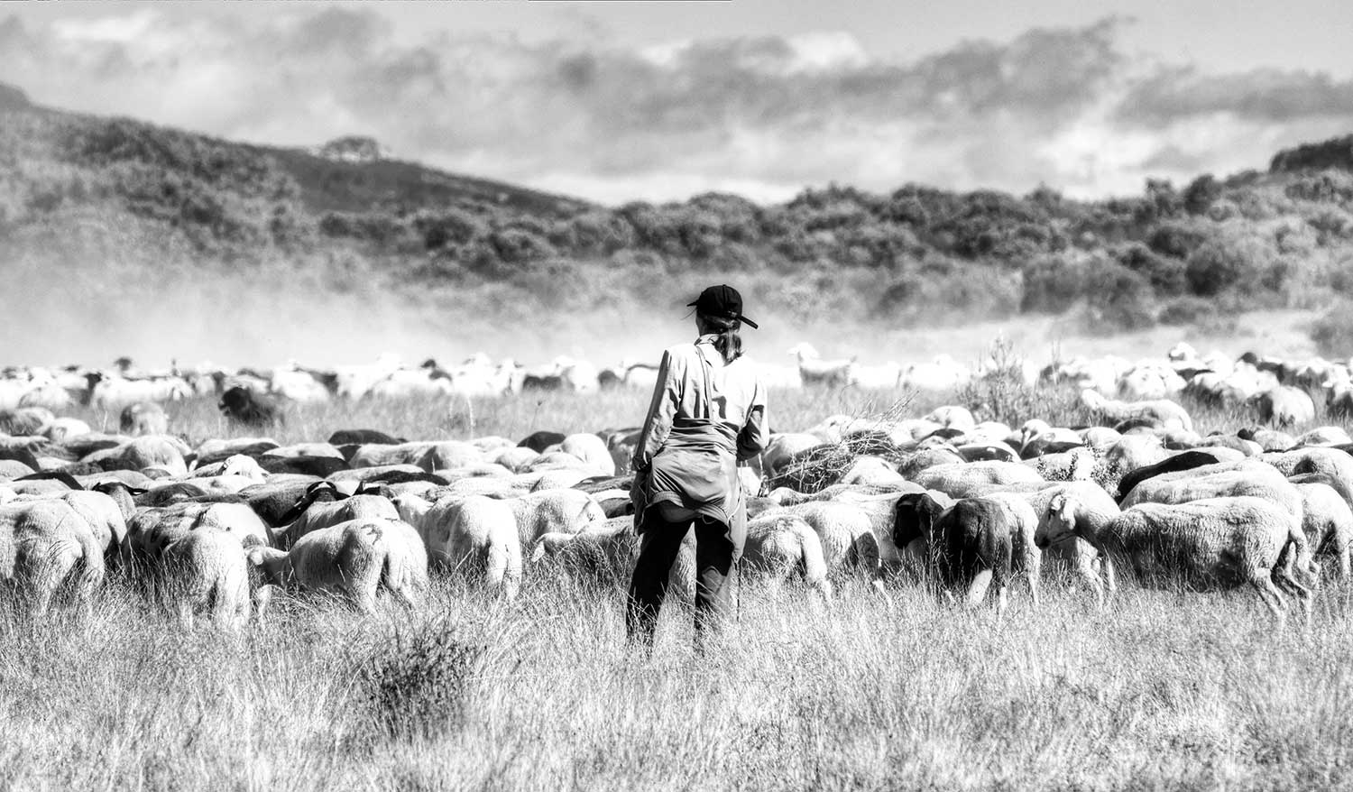 Transhumance of sheep in Aliste, by AMNC project   Mobile Pastoralism in the Mediterranean