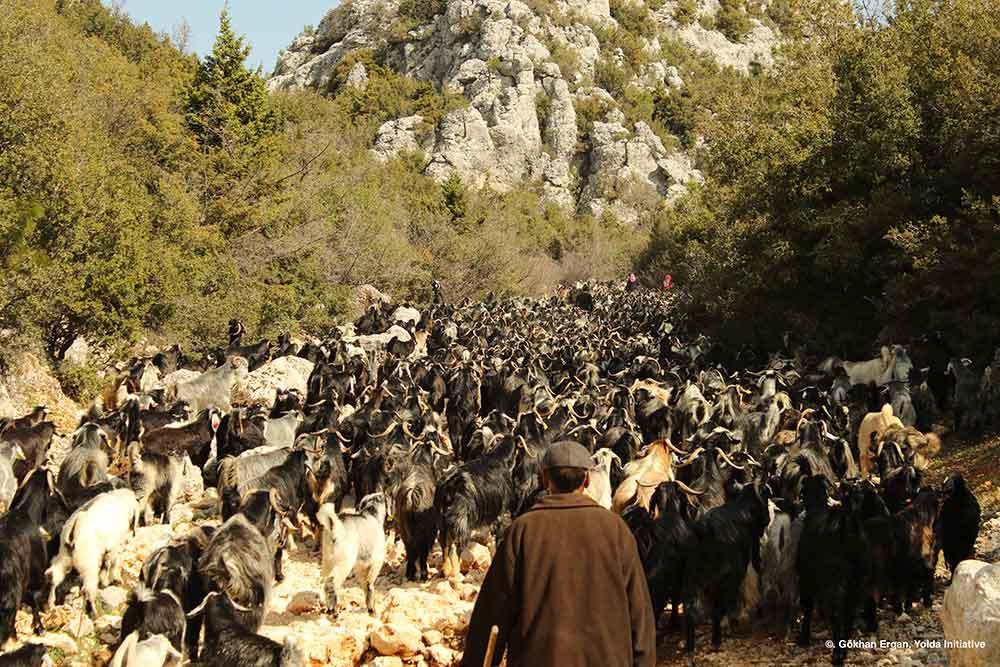 Spring migration, by AMNC partner Yolda   Mobile Pastoralism in Turkey