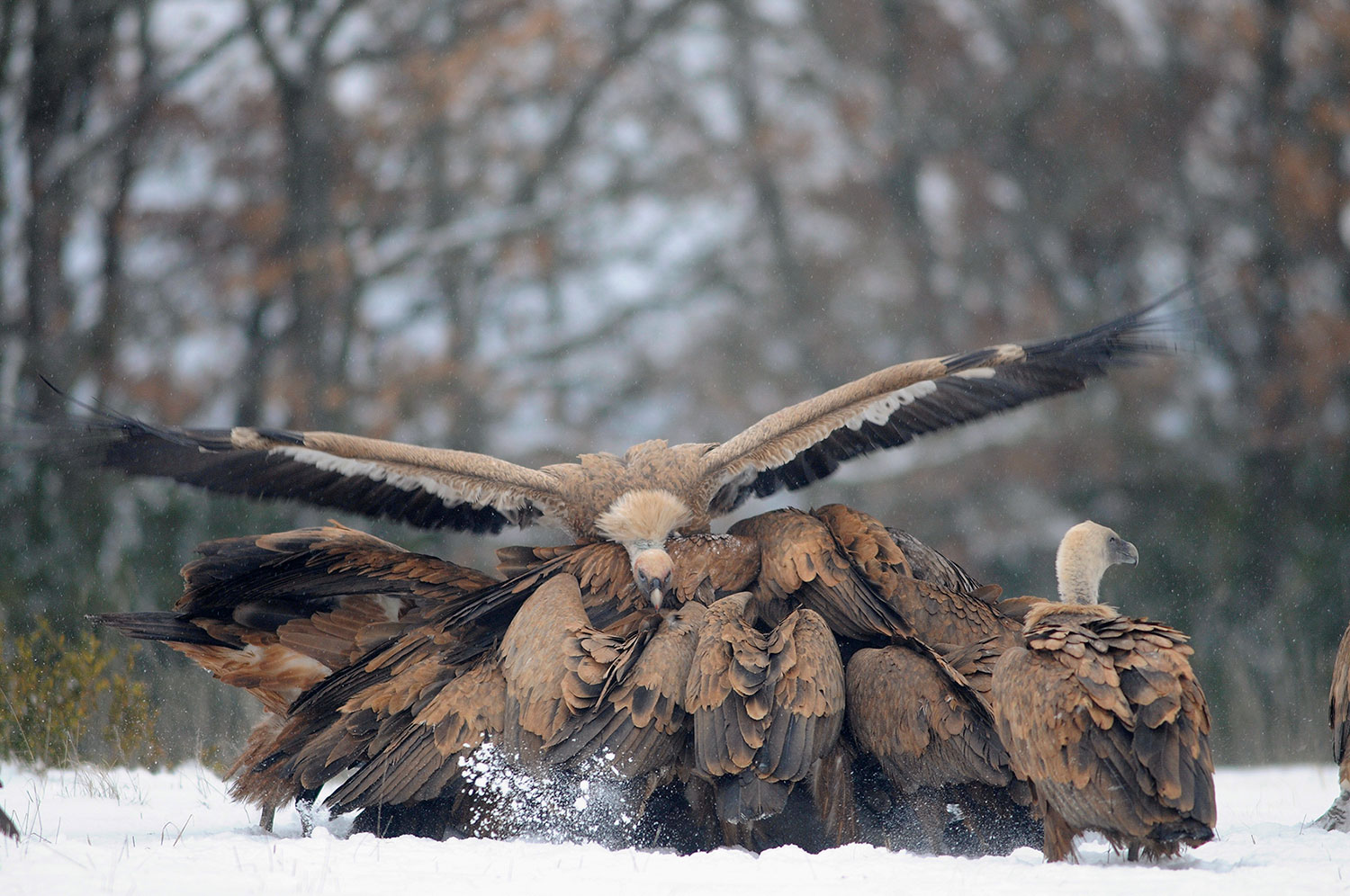 Griffon Vultures, by AMNC project   Mobile Pastoralism in the Mediterranean
